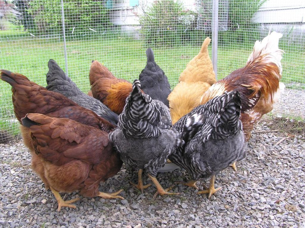 Allow your chickens to forage and feed on grass and grubs before they hit the market